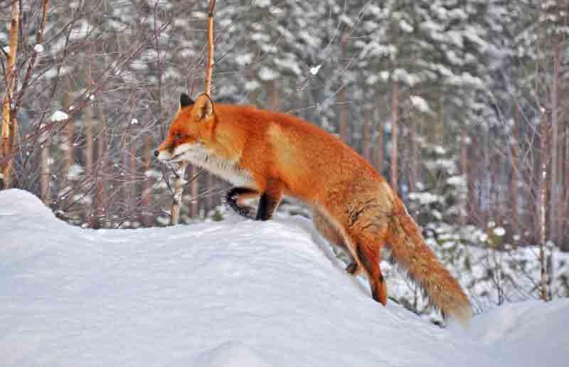 Лисиці та вовки тероризують Вінниччину